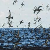 Sooty shearwater. Flock in flight at sea. Snares Islands, February 1984. Image © Colin Miskelly by Colin Miskelly