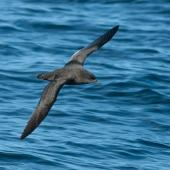 Sooty shearwater. Dorsal view of adult in flight. At sea off Otago Peninsula, April 2012. Image © Craig McKenzie by Craig McKenzie