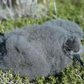 Sooty shearwater. Chick. Big South Cape Island, Stewart Island, April 1961. Image © Department of Conservation (image ref: 10039199) by Don Merton, Department of Conservation Courtesy of Department of Conservation