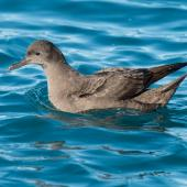 Short-tailed shearwater. Adult on water. Kaikoura pelagic, May 2015. Image © Les Feasey by Les Feasey