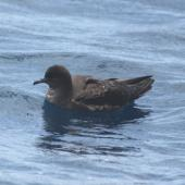 Short-tailed shearwater. Adult on water. At sea off Whangaroa Harbour, January 2012. Image © Detlef Davies by Detlef Davies
