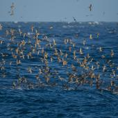 Short-tailed shearwater. Flock in flight. At sea off southern Tasmania, Australia, December 2012. Image © Brook Whylie by Brook Whylie www.sossa-international.org