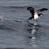 Manx shearwater. Adult. Off Avila, San Luis Obispo County, California, USA, January 2012. Image © Mike Baird by Mike Baird From Flickr, 2.0 Generic (CC BY 2.0)