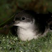 Manx shearwater. Adult in colony. Skomer Island, Wales, April 2011. Image © David Boyle by David Boyle