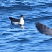Manx shearwater. Adult resting at sea. Off the Coast of St Jean de Luz, France, October 2019. Image © Cyril Vathelet by Cyril Vathelet