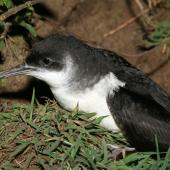 Manx shearwater. Adult in colony. Skomer Island, Wales, May 2007. Image © David Boyle by David Boyle
