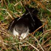 Manx shearwater. Adult resting near nest burrow at night. Skomer Island, Wales, April 2012. Image © Neil Fitzgerald by Neil Fitzgerald www.neilfitzgeraldphoto.co.nz