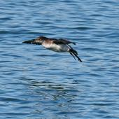 Fluttering shearwater. Adult landing on water. Wellington Harbour, September 2019. Image © Paul Le Roy by Paul Le Roy