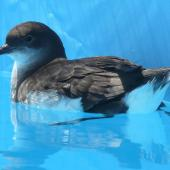 Fluttering shearwater. Adult in rehabilition pool after oil spill. Tauranga, November 2011. Image © Alan Tennyson by Alan Tennyson