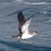 Fluttering shearwater. Adult taking flight. Off Brothers Islands, Cook Strait, October 2019. Image © Colin Miskelly by Colin Miskelly