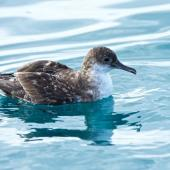 Fluttering shearwater. Adult in faded plumage at sea. Outer Hawke Bay, June 2016. Image © Les Feasey by Les Feasey