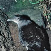 Fluttering shearwater. Adult on ground. Stack north of Stanley Island, July 1987. Image © Alan Tennyson by Alan Tennyson