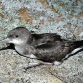 Fluttering shearwater. Adult on ground. Aorangi Island, Poor Knights Islands, December 2011. Image © Alan Tennyson by Alan Tennyson