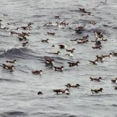 Fluttering shearwater. Flock at sea with a few larger Buller's shearwaters. Hauraki Gulf, October 2004. Image © Colin Miskelly by Colin Miskelly