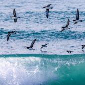 Hutton's shearwater. Flock in flight. Kahutara River mouth, Kaikoura, October 2020. Image © Derek Templeton by Derek Templeton take.aim.kiwi@gmail.com