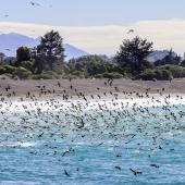 Hutton's shearwater. Flock feeding close inshore. Kahutara River mouth, Kaikoura, October 2020. Image © Derek Templeton by Derek Templeton take.aim.kiwi@gmail.com