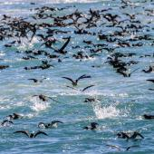 Hutton's shearwater. Flock feeding. Kahutara River mouth, Kaikoura, October 2020. Image © Derek Templeton by Derek Templeton take.aim.kiwi@gmail.com