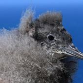Hutton's shearwater.  Chick. Kaikoura Peninsula recovery project, March 2008. Image © Rebecca Bowater FPSNZ by Rebecca Bowater  FPSNZ Courtesy of Rebecca Bowater FPSNZwww.floraandfauna.co.nz