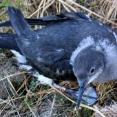 Hutton's shearwater. Fledgling. Kaikoura Peninsula recovery project, March 2008. Image © Rebecca Bowater FPSNZ by Rebecca Bowater  FPSNZ Courtesy of Rebecca Bowater FPSNZwww.floraandfauna.co.nz