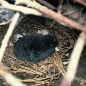 Hutton's shearwater. Chick in nest. Upper Kowhai Valley, Kaikoura, December 1989. Image © Alan Tennyson by Alan Tennyson