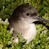 Hutton's shearwater. Adult on ground at breeding colony at night. Kowhai Stream colony,  Seaward Kaikoura Ranges, December 2011. Image © Mark Fraser by Mark Fraser