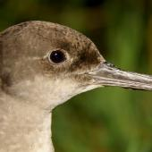 Hutton's shearwater. Close up of adult head. Kowhai Stream colony,  Seaward Kaikoura Ranges, December 2011. Image © Mark Fraser by Mark Fraser