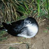 Hutton's shearwater. Adult at breeding colony. Seaward Kaikoura Range. Image © Department of Conservation (image ref: 10048969) by Department of Conservation Courtesy of Department of Conservation