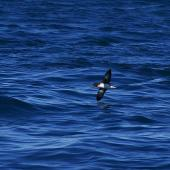 Hutton's shearwater. Ventral view of adult in flight. Kaikoura pelagic, January 2013. Image © Colin Miskelly by Colin Miskelly