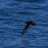 Hutton's shearwater. Dorsal view of adult in flight. Kaikoura pelagic, January 2013. Image © Colin Miskelly by Colin Miskelly