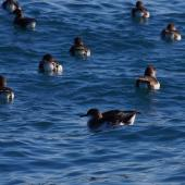 Hutton's shearwater. Adults on water. Kaikoura pelagic, January 2013. Image © Colin Miskelly by Colin Miskelly