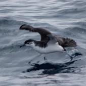 Little shearwater. Adult in flight. Off Tutukaka, September 2017. Image © Oscar Thomas by Oscar Thomas