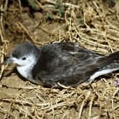 Little shearwater. Adult ('kermadecensis' subspecies) on surface at night. Curtis Island, October 1989. Image © Graeme Taylor by Graeme Taylor