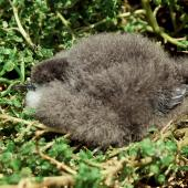Little shearwater. Well grown chick ('kermadecensis' subspecies) removed from nest. Curtis Island, October 1989. Image © Graeme Taylor by Graeme Taylor