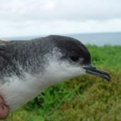 Little shearwater. Close view adult head and bill. Burgess Island, September 2011. Image © Graeme Taylor by Graeme Taylor
