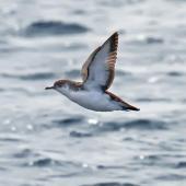 Little shearwater. Adult in flight. Hauraki Gulf, November 2009. Image © Phil Swanson by Phil Swanson