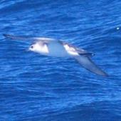 Little shearwater. Adult in flight. Hauraki Gulf, November 2011. Image © Ross Silcock by Ross Silcock