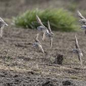 Red-necked stint. Flock in flight showing dorsal surfaces. Awarua Bay, September 2017. Image © Glenda Rees by Glenda Rees https://www.facebook.com/NZBANP/https://www.flickr.com/photos/nzsamphotofanatic/