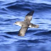 Subantarctic little shearwater. In flight, dorsal. At sea off Campbell Island, April 2013. Image © Phil Battley by Phil Battley