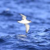 Subantarctic little shearwater. In flight, ventral. At sea off Campbell Island, April 2013. Image © Phil Battley by Phil Battley