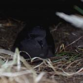Wilson's storm petrel. Adult incubating egg in nest cavity. Ile aux Cochons, Iles Kerguelen, January 2016. Image © Colin Miskelly by Colin Miskelly