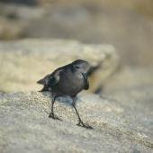 Wilson's storm petrel. Adult on rock. Hop Island, Prydz Bay, Antarctica, February 1990. Image © Colin Miskelly by Colin Miskelly