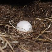 Wilson's storm petrel. Nest and egg. Ile aux Cochons, Iles Kerguelen, January 2016. Image © Colin Miskelly by Colin Miskelly