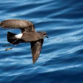 Wilson's storm petrel. Adult in flight. Port MacDonnell pelagic, South Australia, March 2017. Image © Craig Greer by Craig Greer