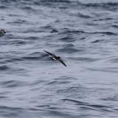 Wilson's storm petrel. Rear view of adult in flight. At sea off Whangaroa Harbour, Northland, January 2011. Image © Jenny Atkins by Jenny Atkins www.jennifer-m-pics.ifp3.com