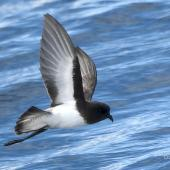 Grey-backed storm petrel. Adult in flight showing underwing, white belly and distinct black hood. Tutukaka Pelagic out past Poor Knights Islands, July 2021. Image © Scott Brooks (ourspot) by Scott Brooks