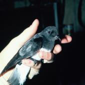 Grey-backed storm petrel. Adult in the hand. Mangere Island, Chatham Islands, January 1988. Image © Alan Tennyson by Alan Tennyson
