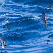 Grey-backed storm petrel. Flock foraging. Chatham Islands, April 2019. Image © Hadoram Shirihai by Hadoram Shirihai