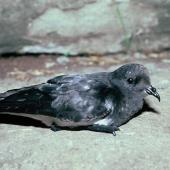 Grey-backed storm petrel. Side view of adult on the ground. Mangere Island, Chatham Islands, January 1988. Image © Alan Tennyson by Alan Tennyson