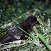 Grey-backed storm petrel. Adult at night. Rangatira Island, Chatham Islands. Image © Department of Conservation (image ref: 10050875) by Helen Gummer, Department of Conservation Courtesy of Department of Conservation