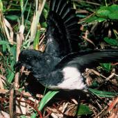 Grey-backed storm petrel. Adult with wings raised. Rangatira Island, December 1984. Image © Department of Conservation (image ref: 10054737) by Don Merton, Department of Conservation Courtesy of Department of Conservation